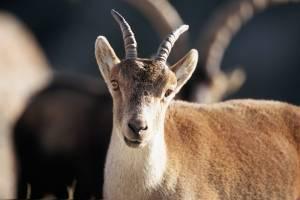8. Cabra y resto de ovinos y caprinos