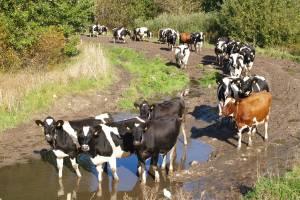 9. Vaca y resto de bovinos