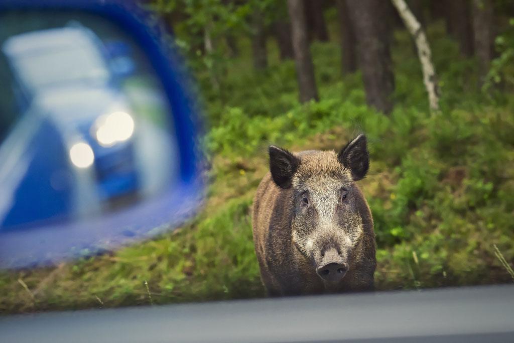 Jabalíes detrás del 35,5 % de accidentes con animales