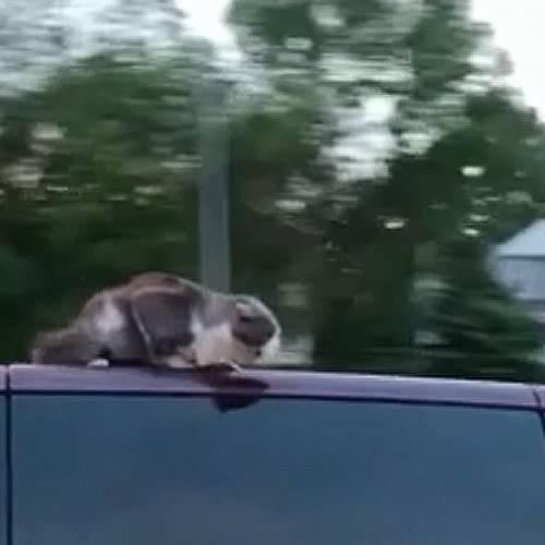 Lo más viral: un gato circula a 100 km/h en el techo de un coche