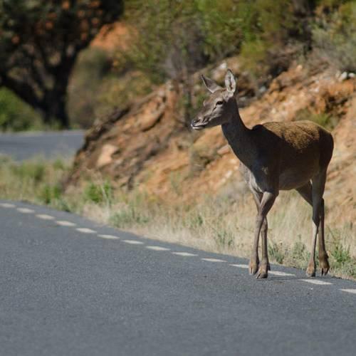 Los animales que provocan más accidentes en la carretera, por CCAA